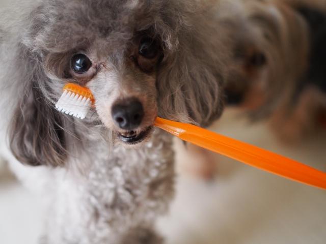 犬と歯ブラシ
