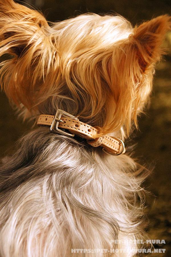 フリーステッチのヌメ革の首輪をつけている愛犬